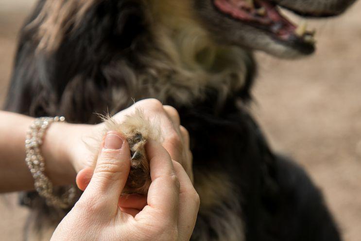 Todos los amos deberían controlar regularmente las patitas de sus mascotas.