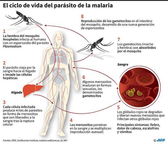 EL CICLO DE VIDA DEL PARÁSITO DE LA MALARIA