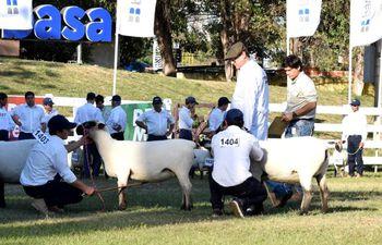 Imagen representativa de la muestra de ovinos, con ejemplares que son juzgados en el ruedo central de la Expo de Roque Alonso, pero la Expo Nacional de Ovinos se realiza en la Regional del Guairá, en Mbocayatý.