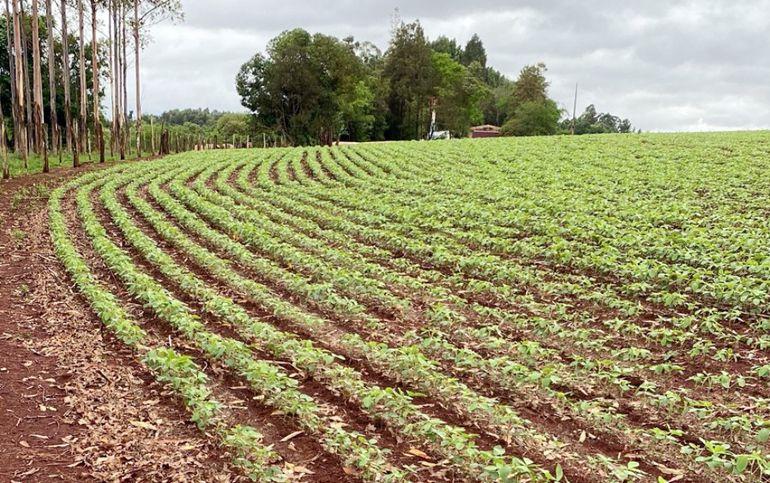 En varias zonas del país la siembra avanzó bastante, las lluvias y calores repentinos favorecen a la aparición.