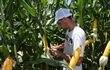 Mientras la soja sigue creciendo,   las empresas ya preparan su portafolio de maíz para como siguiente cultivo..