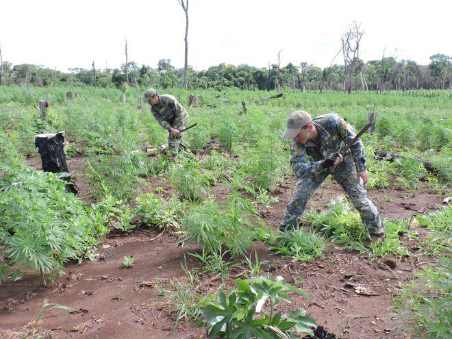 Efectivos de la Senad destruyen plantas de marihuana en Yby Yaú, este miércoles.