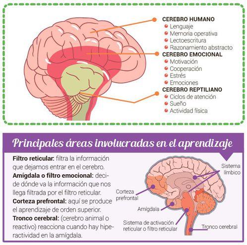 Cerebro Triuno Piensa Siente Y Actúa Escolar Abc Color