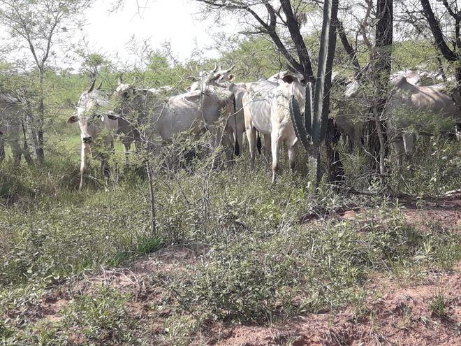 Los 33 animales pertenecen a una estancia del distrito de San Alfredo.