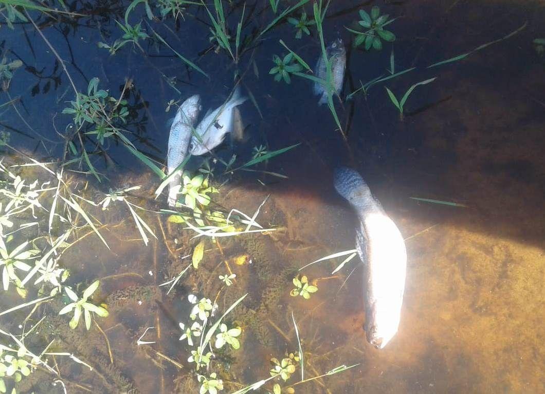 Se presume que la mortandad de peces sería a consecuencia de la contaminación de desecho de destilería de caña
