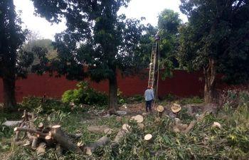 Tala de árboles de mango