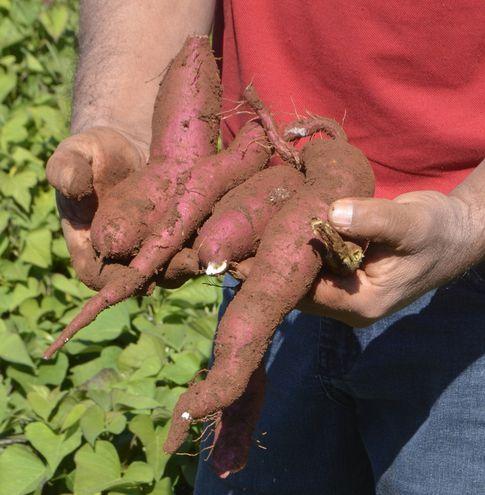 En  Paraguay existen diversas variedades de batata que pueden ser aprovechadas, sea para consumo humano, animal o para la industrialización.