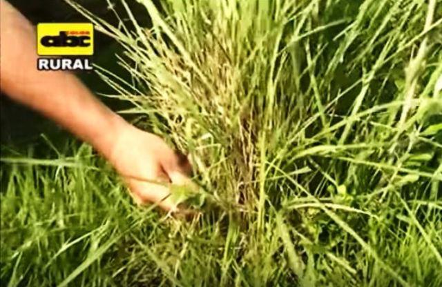 El buen manejo  de los pastos, contribuye a la disponibilidad de alimentos para los animales.
