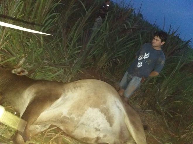 Herminio Alvarenga Rodríguez, detenido, junto al cuerpo de la vaca robada.