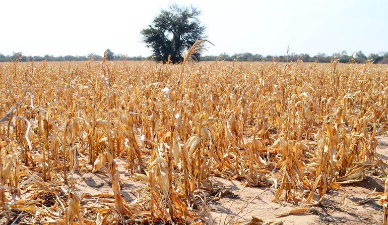 Plantación de maíz  totalmente seca por efecto de la falta de lluvias en el Chaco.