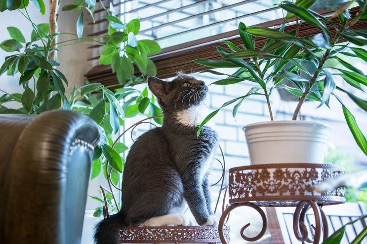 La atracción mágica por el verde: muchos gatos comen hojas y destruyen plantas.