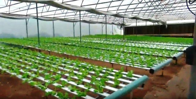 Hay que monitorear el estado sanitario de los cultivos hidropónicos.