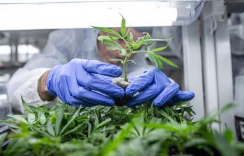 cannabis-invernadero-94616000000-1800233.JPG