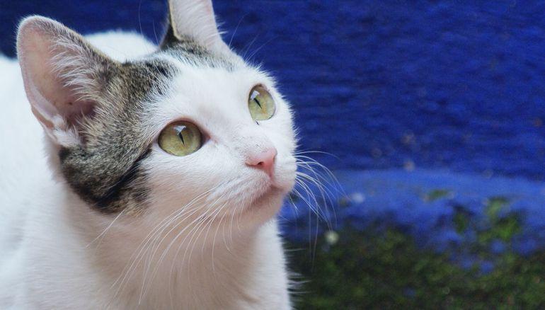gato que frecuentemente pasa poca orina