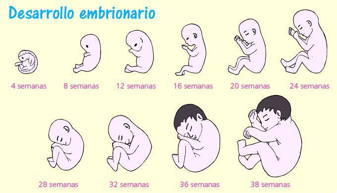 Fecundación Embarazo Y Parto Escolar Abc Color
