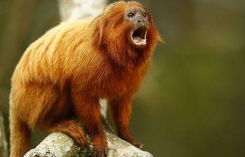 Un mono león dorado, también llamado tití leoncito. (Imagen de archivo EFE).