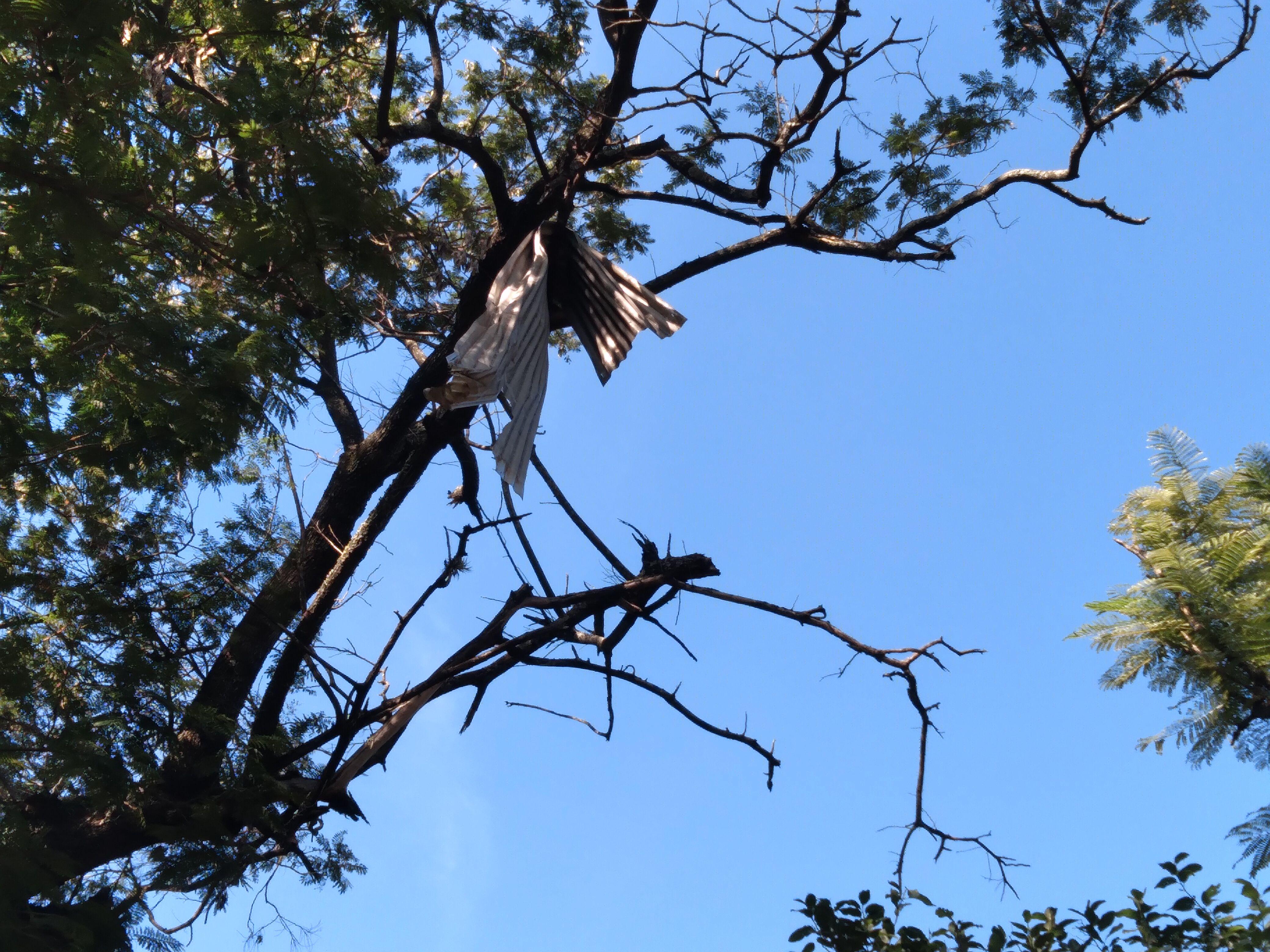 Una afilada chapa de zinc cuelga en lo más alto de una rama de un árbol.