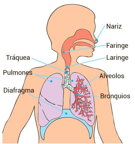 Natullate Licensed For Non Commercial Use Only Sistema Respiratorio