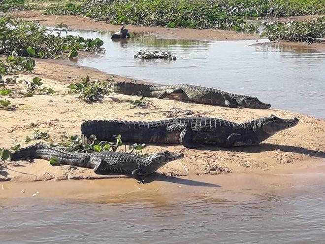 Los yacarés se relajan bajo el sol a orillas del río en la zona del Pantanal en el Alto Paraguay.