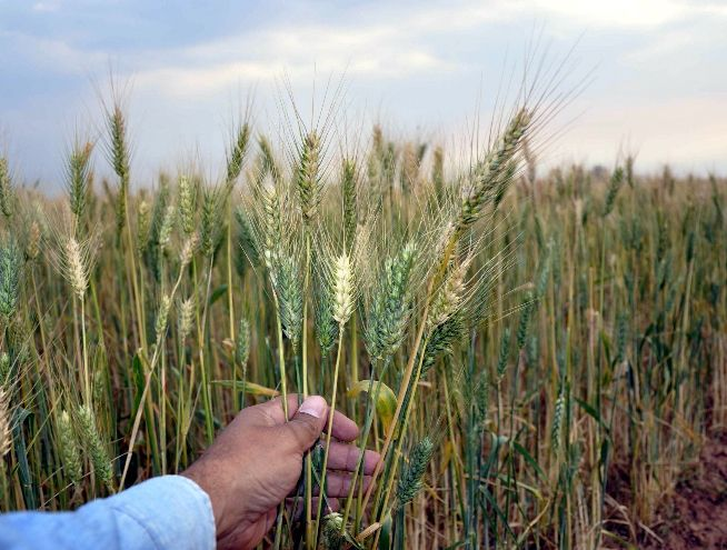 La producción de trigo se encuentra en pleno proceso de cosecha.
