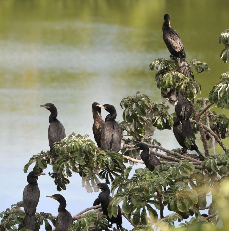Mbiguás o cormoranes, en la Cantera de Tacumbú.
