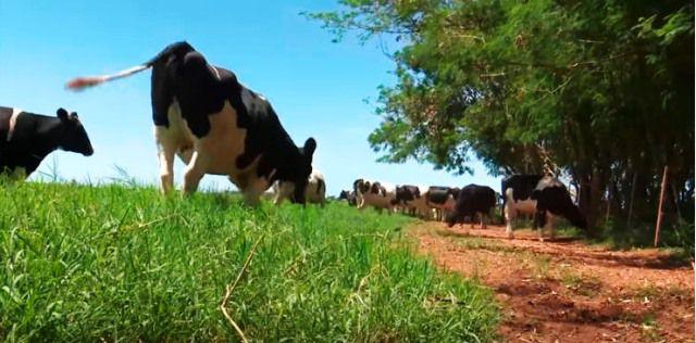 El mejoramiento genético en ganado de leche es un factor que eleva los rendimientos.