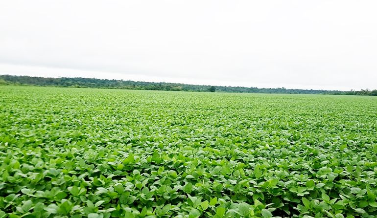 Cultivo de soja en Alto Paraná, tras las recientes lluvias. Foto proveída ayer  por la CAP.