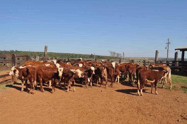 El precio del ganado de exportación repuntó un 15%