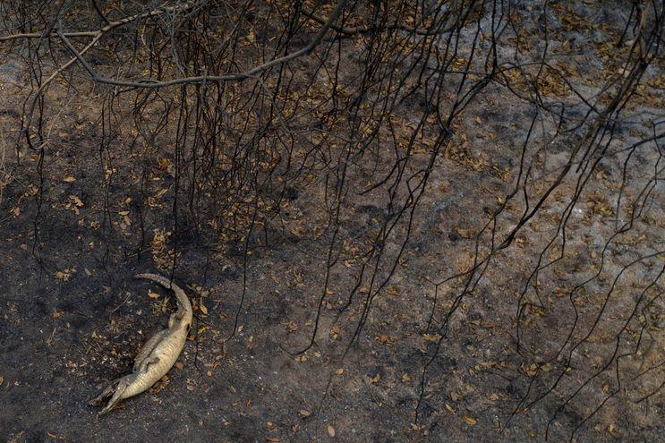 Muchos animales pierden la vida debido a la rapidez de las llamas y al humo, durante el incendio en el Pantanal Brasileño.