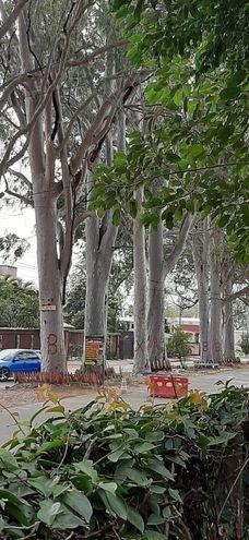 Árboles de eucalipto que serán derribados
