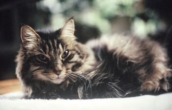En cuarentena hay que tratar de evitar el contacto con el gato, para que la mascota no se contagie con el coronavirus.