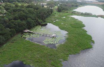 En un sector de la laguna Cerro, especificamente frente al establecimiento Justo Perfecta, que linda con la curtiembre Waltrading, se expande la floración del yacaré yrupé.