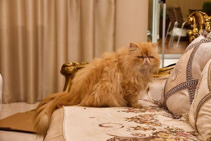 Uno de los tres gatos persa rescatados por la Dirección Nacional de Defensa, Salud y Bienestar Animal, a pedido del fiscal Deny Yoon Park, quien allanó la vivienda del presuntonarco Miguel Angel Servín, en el barrio Villa Morra de Asunción.