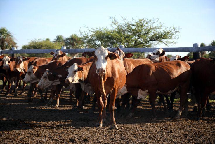 Los precios del ganado están por debajo de la rentabilidad.