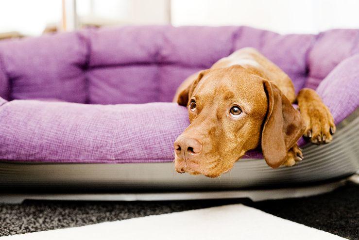 ¿Dónde están mis amos? Si los dueños de un perro vuelven del teletrabajo a la oficina se genera un cambio muy fuerte para el animal, que hay que tratar de introducir paso a paso.
