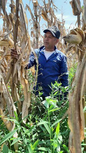 El pequeño productor, Trifón Ruiz Díaz, en su cultivo de maíz, que logró un rendimiento de 7 toneladas por hectárea.