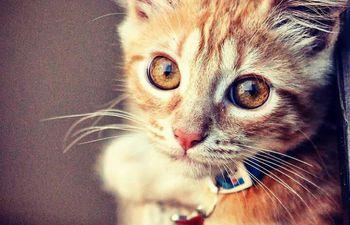 Los gatos de compañía desarrollan vínculos con sus dueños similares a los que forman niños y perros con sus cuidadores, reveló un estudio.